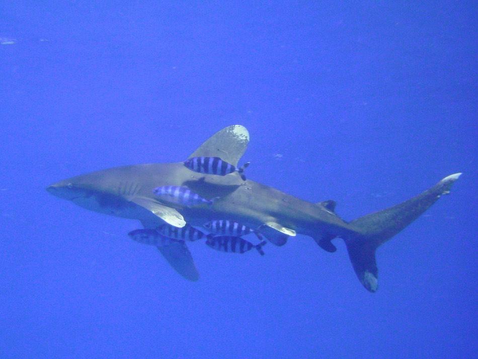 Oceanische witpunthaai Elphinstone Egypte