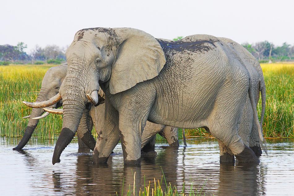 Olifanten Moremi Botswana