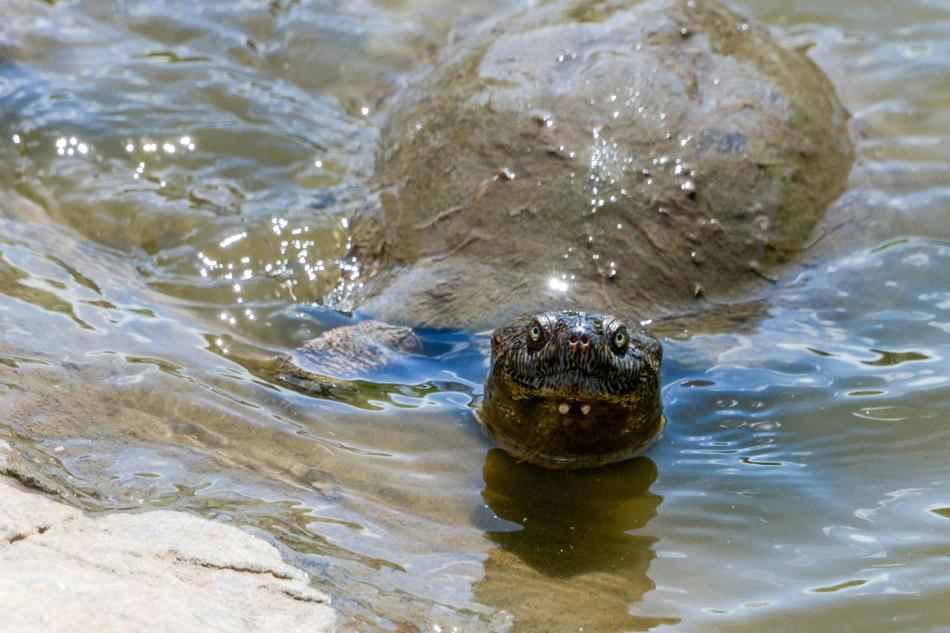 Schildpad Kafue Zambia
