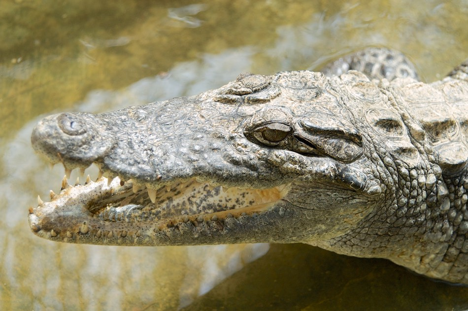 Krokodil Bao Bolong Wetland reserve Gambia
