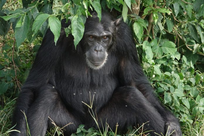 Bossou Guinee