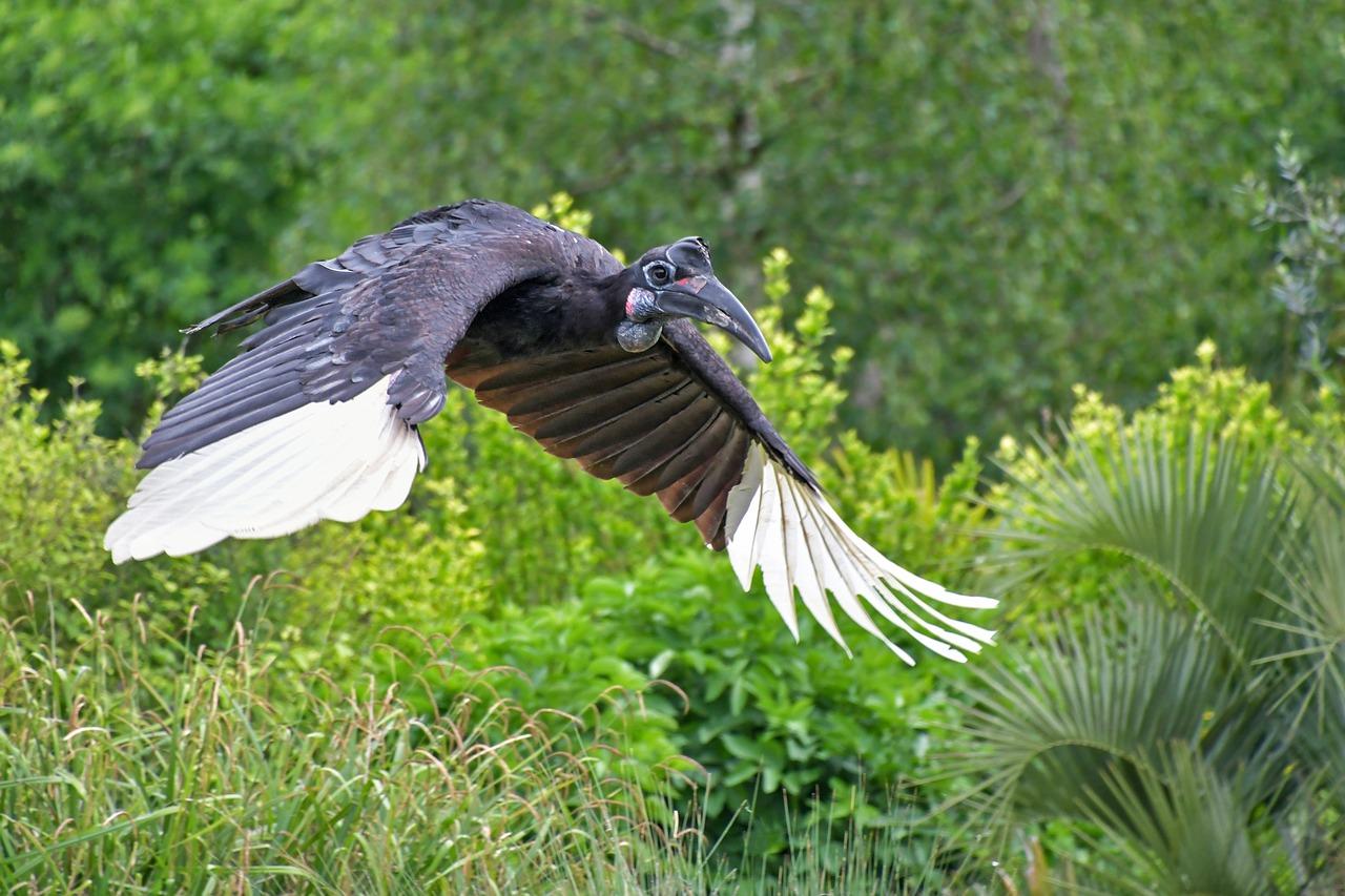 Kiang West Gambia Hornbill
