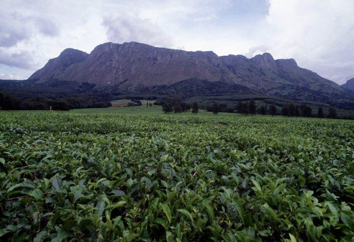 Mount Mulanje theeplantage