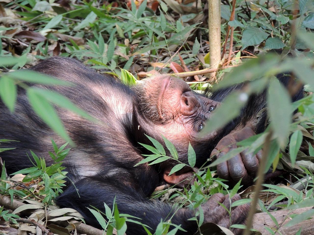 Moyen-Bafing chimpansee