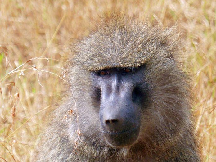 Makasutu baviaan Gambia