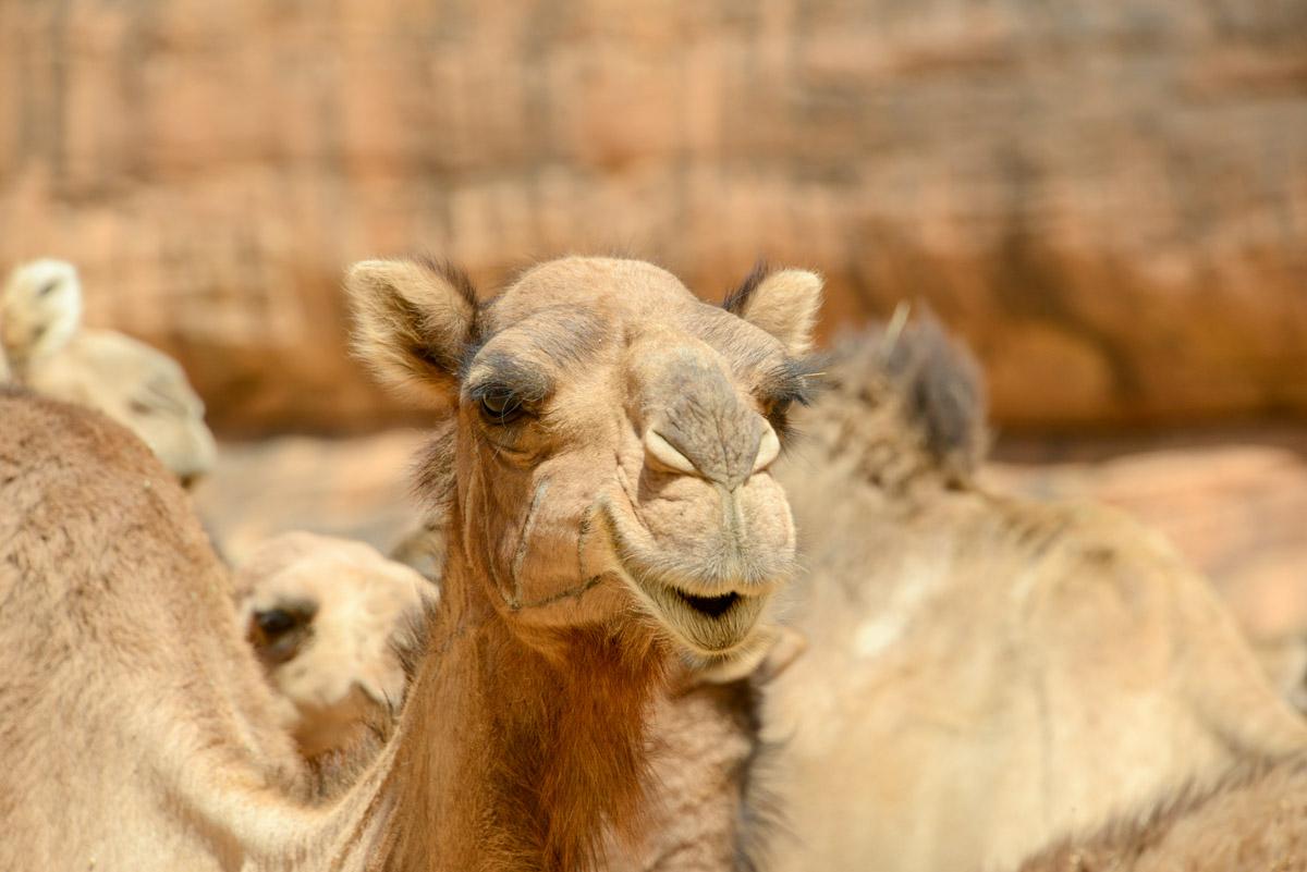 Guelta d'Archei Ennedi kameel