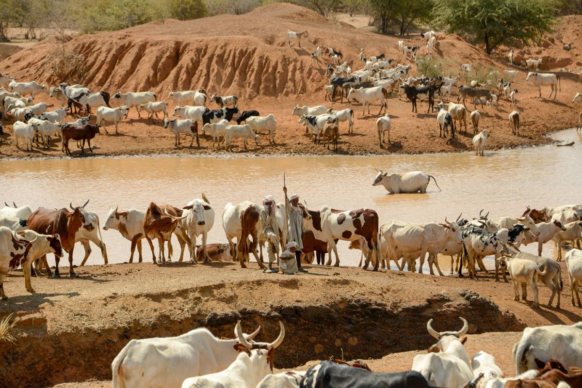 Nomaden Tsjaad met koeien