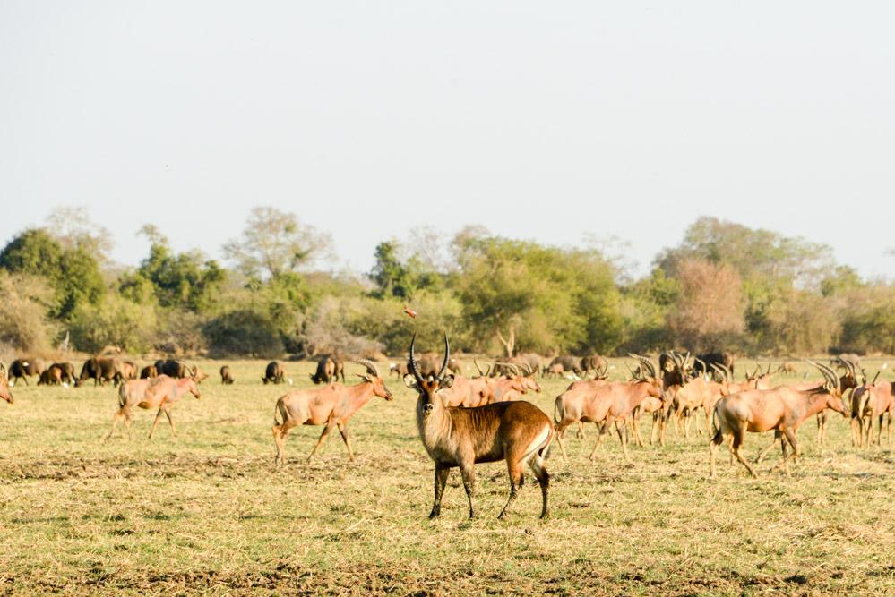 Zakouma Tsjaad antilopen