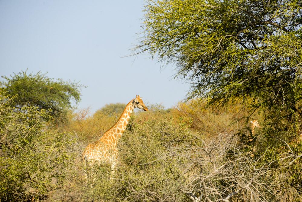 Zakouma Tsjaad giraffe