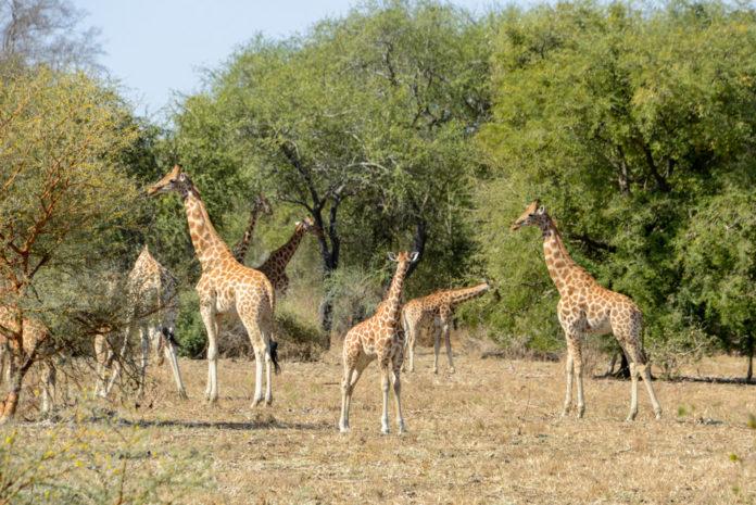 Zakouma Tsjaad giraffes