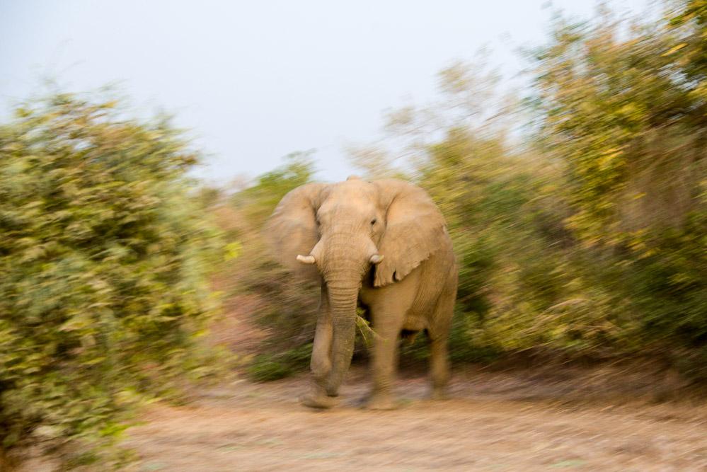 Zakouma Tsjaad olifant