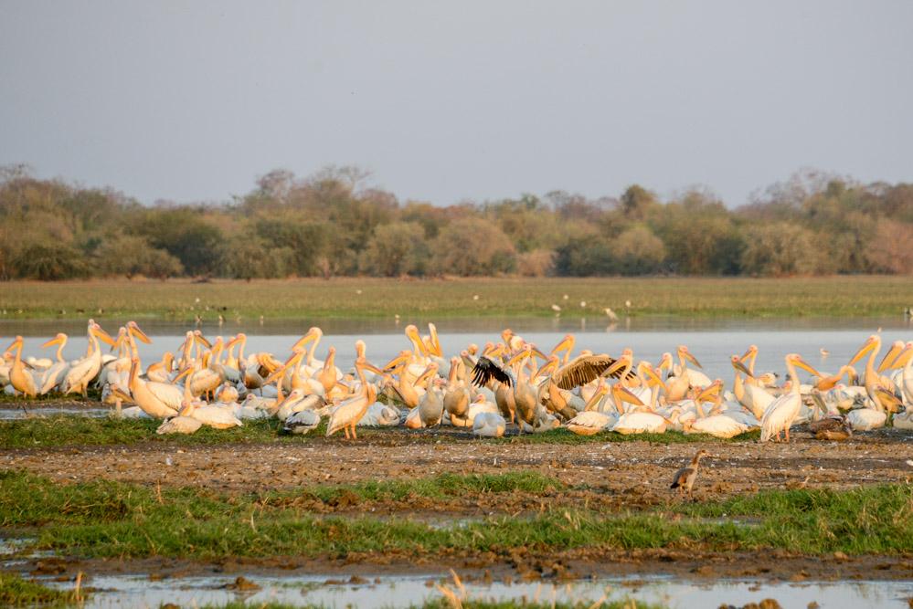 Zakouma Tsjaad pelikanen