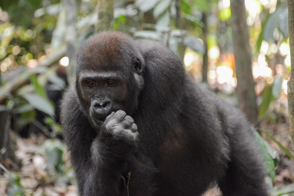 Gorilla Centraal Afrikaanse Republiek