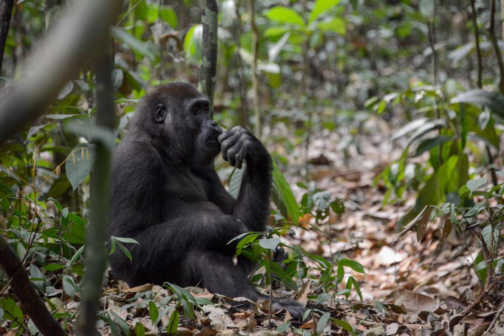 Gorilla Dzanga Sangha