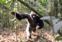 Gorilla aanval Dzanga Sangha