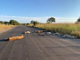 Leeuwen op de weg in Kruger
