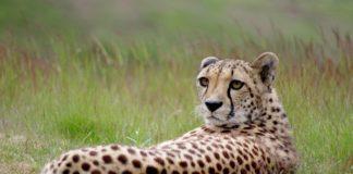 Tuli Block Botswana Cheeta