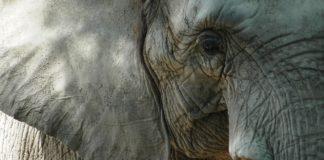 Tuli Block Botswana olifant