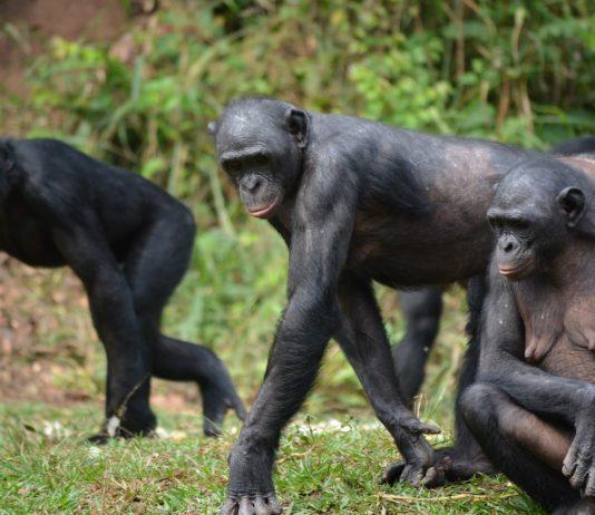 Bonobo African Parks
