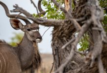 Mwabvi Wildlife Reserve Kudu