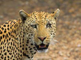 cheeta jachtluipaard hoggar alegrije