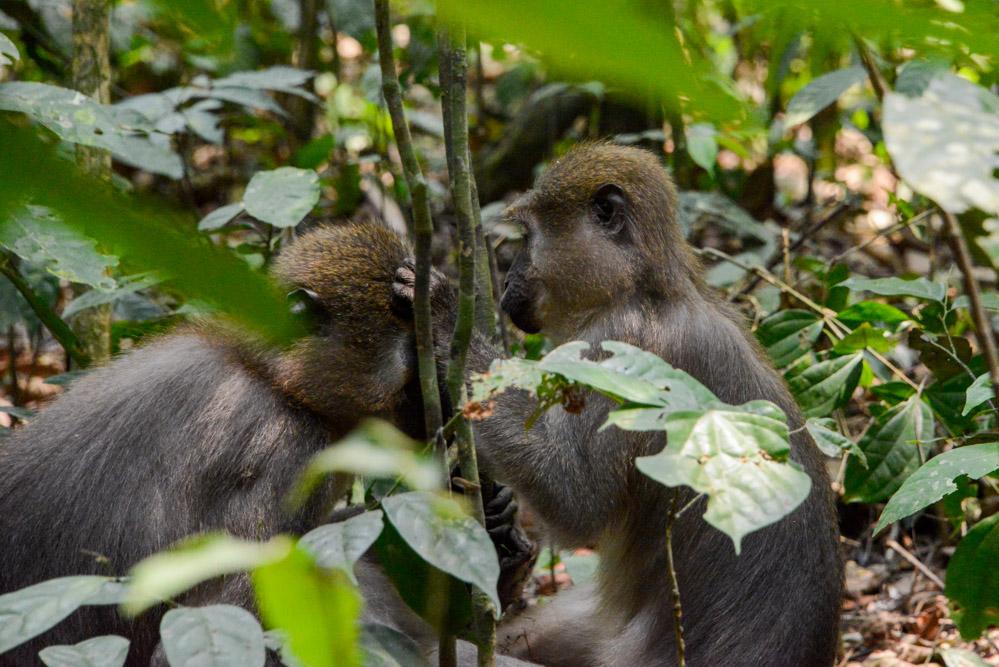Mangabey apen Afrika