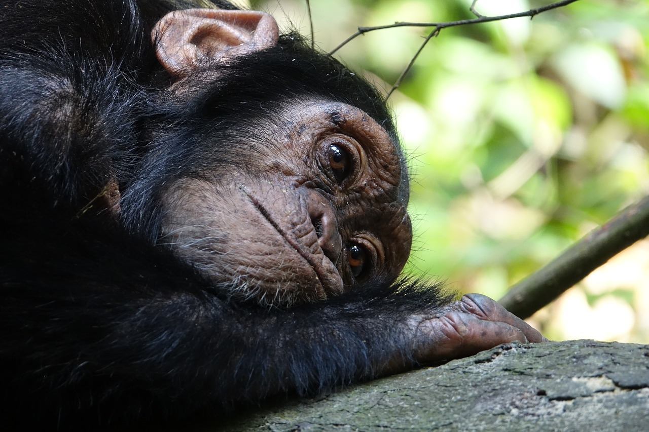 Nyungwe Forest National Park chimpansee