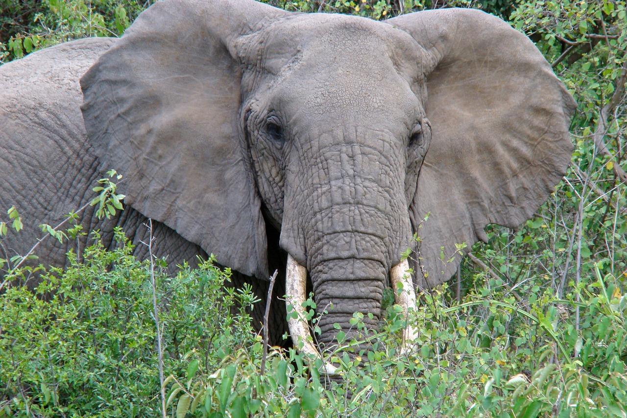 Lake Manyara olifant