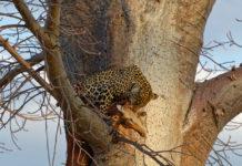 Luipaard Ruaha Tanzania