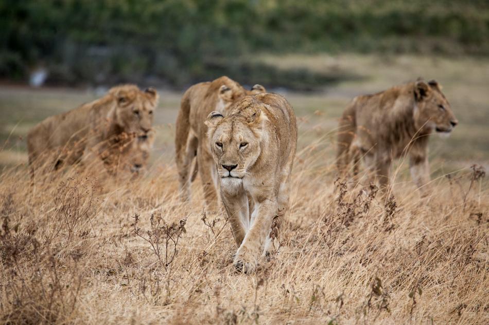 Ngorongoro Krater tanzania leeuwen