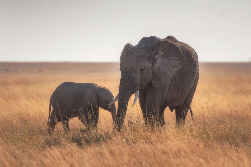 Serengeti Tanzania olifant