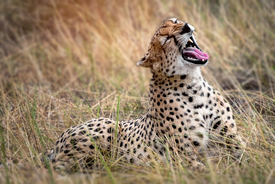 Serengeti cheeta