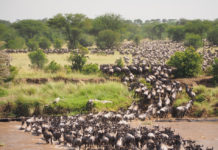 Serengeti migratie gnoes