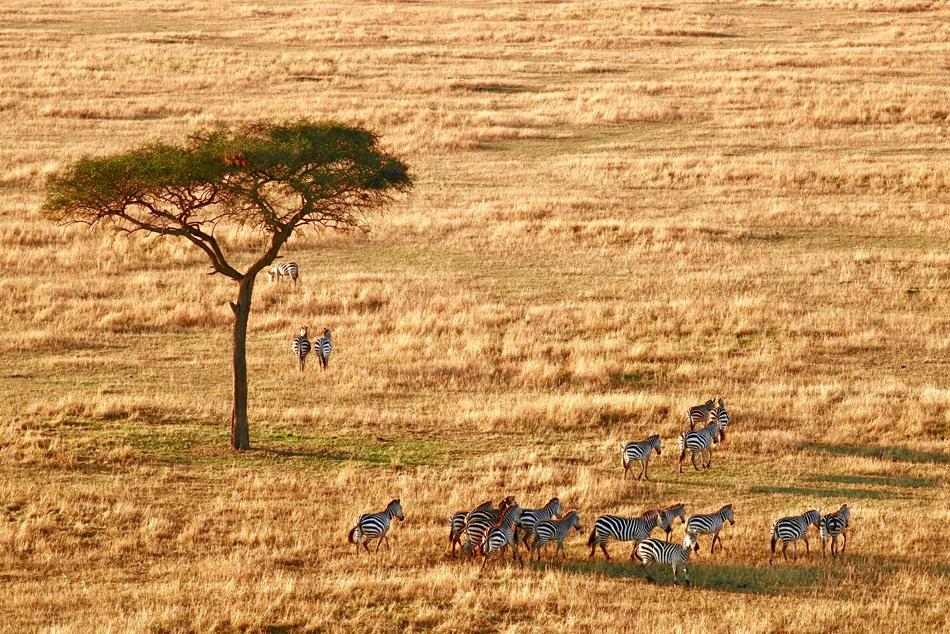 Serengeti zebra luchtballon