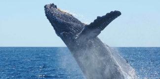 Gabon Loango bultrug walvis