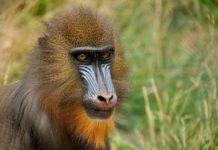 Lopé National Park Gabon Mandril