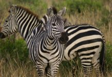 Lusaka National Park Zambia zebra