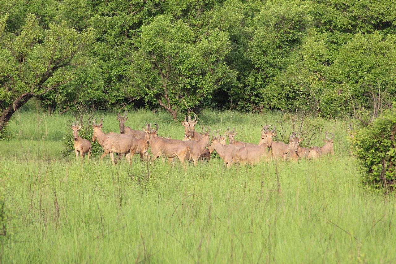 Mole national park ghana impala