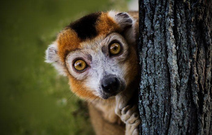 Ranomafana National Park maki