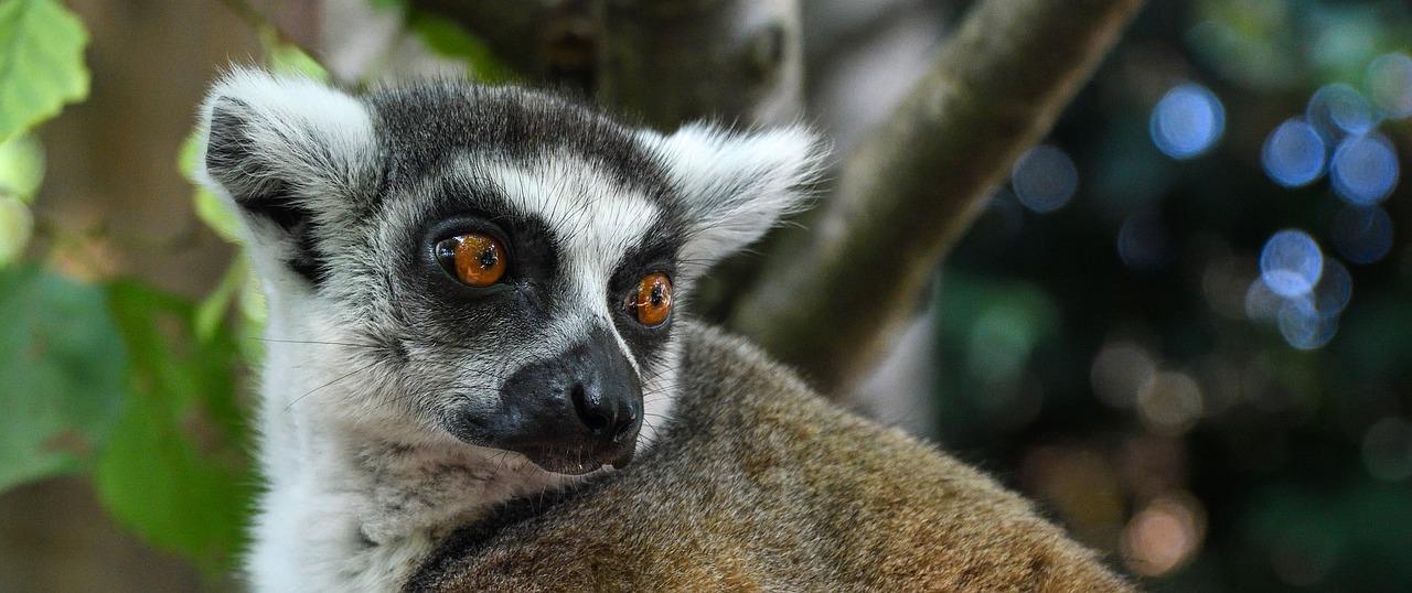 Ranomafana National Park maki madagaskar