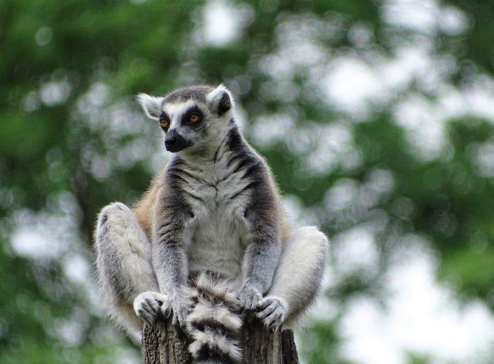 Ringstaartmaki Isalo National Park Madagaskar