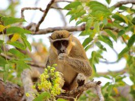Boabeng Fiema Monkey Sanctuary Ghana