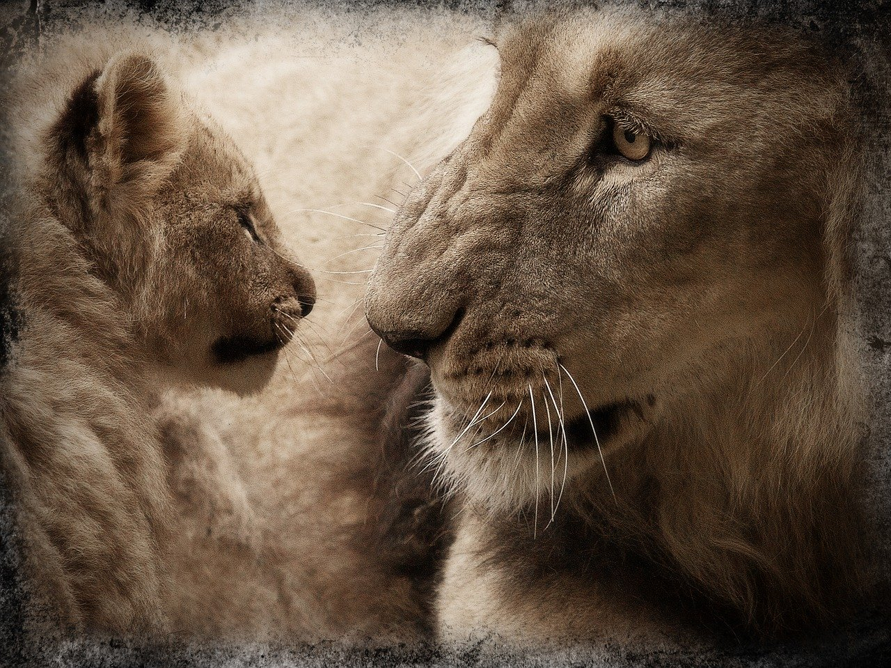 Katavi National Park leeuw