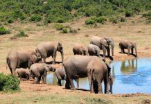 Massale olifantensterfte in Botswana door blauwalgen
