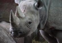 Vier neushoorns geboren in het nationale park Liwonde