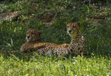 Cheeta Bangweulu African Parks