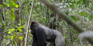 Lesio-Louna Gorilla National Reserve