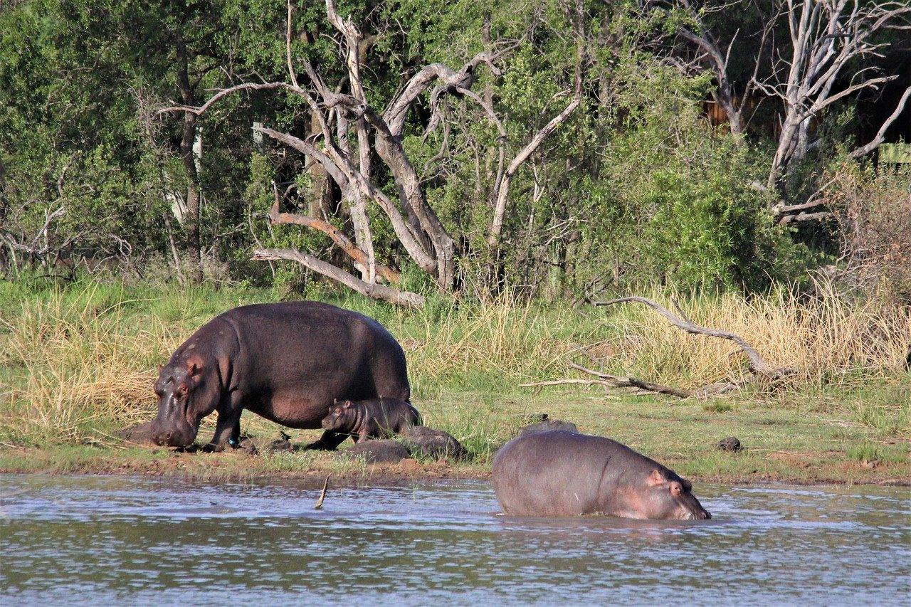 Nijlpaard Afrika Zambia