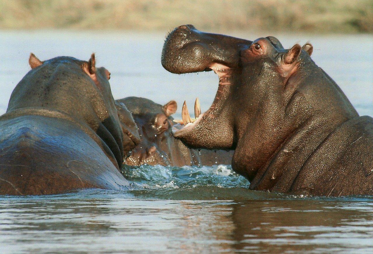 Nijlpaard stunningtravel afrika