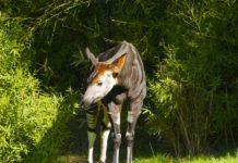 Okapi Wildlife Reserve Congo